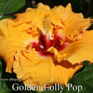 120 - Golden Lolly Pop.jpg